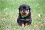 Picture of Emery -Handsome, large European male Rottweiler