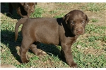 Picture of AKC CHOCOLATE LABS