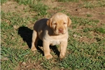 Picture of AKC YELLOW lab