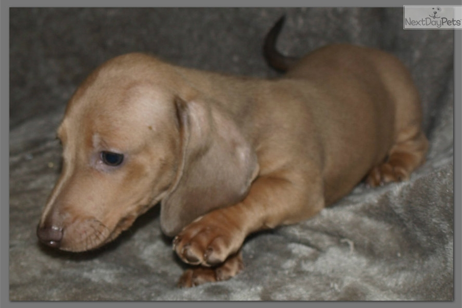 Mini Dachshund Puppies For Sale Houston Tx