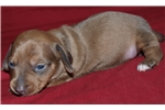 Picture of Beautiful Female Mini Dachshund