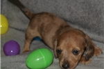 Picture of Male Dapple Mini Dachshund