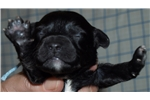 Picture of Adorable male mini Schnoodle