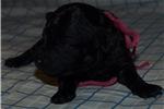 Picture of Mini Schnoodle female