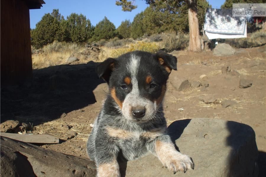 Queensland Heeler Rescue Sacramento Design | Dog Breeds ...
