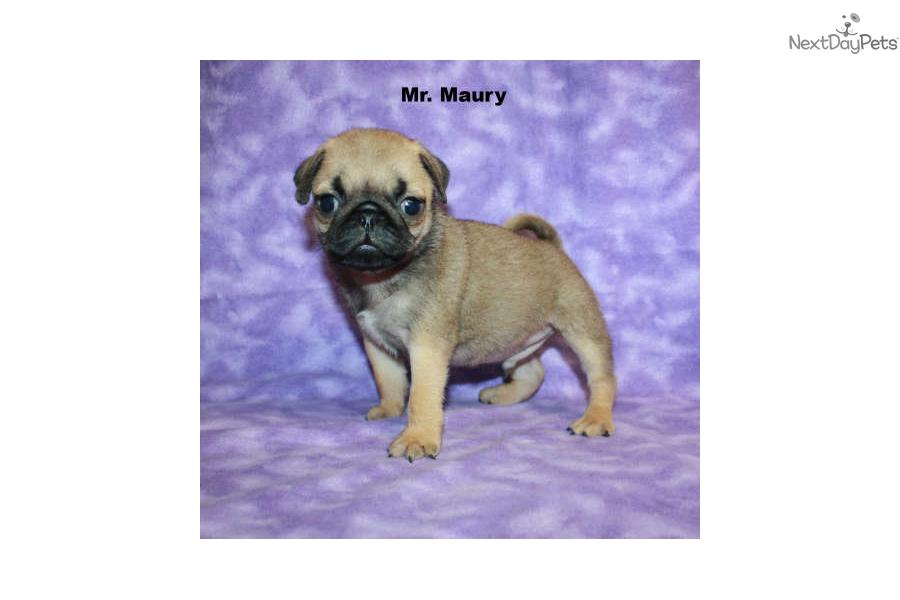 Pug Puppies For Sale Long Island