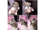 Picture of Super Cute Pitbull Puppy!