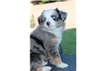 Picture of Female, Blue Merle