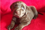 Picture of Chocolate Lab Pups for Sale