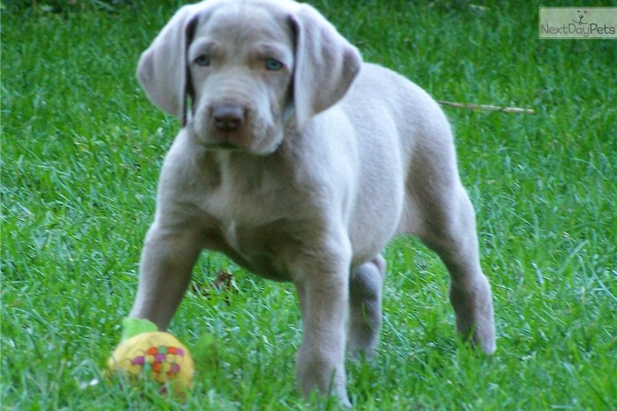 Guinness Weimaraner Puppy For Sale Near Kansas City