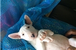 Bull Terrier for sale