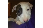 Picture of AkC Bul Terrier Puppy