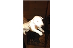 Picture of AKC bull terrier puppy