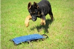 Picture of German Shepherd puppies for sale- Working/Showline