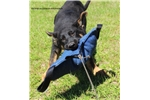Picture of German Shepherd female puppy- Working/Showline