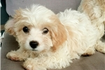 Picture of Adorable Cavachon (Cavalier King Charles & Bichon)