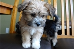 Picture of Beautiful Morkie Puppies
