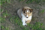Picture of Adorable Sheltie Puppies