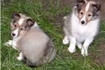 Picture of Beautiful Sheltie Puppies