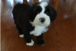 Picture of Beautiful Ttoodles (Tibetan Terrier & Poodle) Pups
