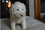 Picture of RARE Beautiful Ttoodle Puppies