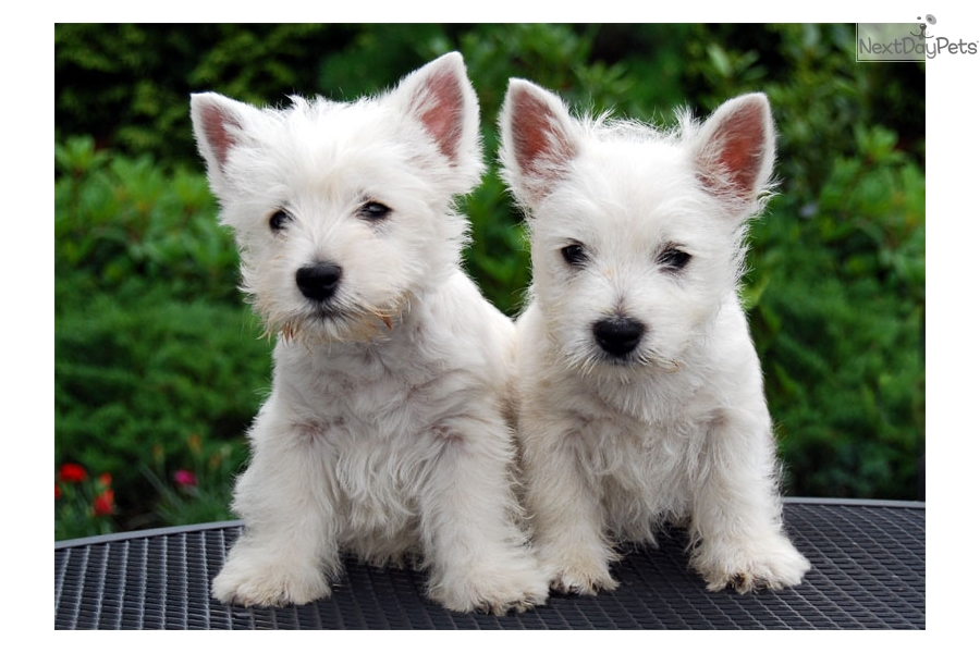 Westie Items Gifts - CafePress