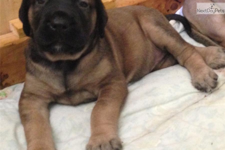 Mastiff Puppies For Sale In Oklahoma City