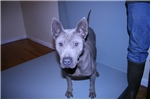 Thai Ridgeback for sale