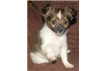 Picture of UKC Tiny Male Papillon Puppy