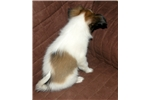 Picture of UKC Male Papillon Pupp