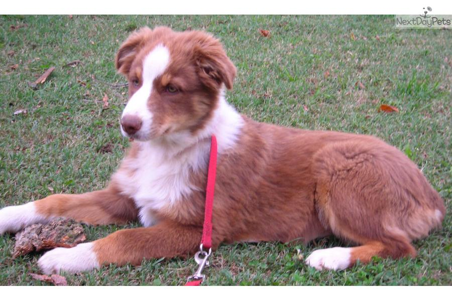 Australian Shepherd Puppy For Sale In Oklahoma | Dog Breeds Picture