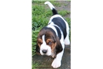 Picture of Beautiful Basset Hound