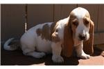 Picture of a Basset Hound Puppy