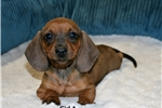 Picture of Gorgeous Red Miniature Dachshund. Smooth Coat