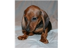 Picture of So Handsome Miniature Dachshund Puppy. Sweet Male