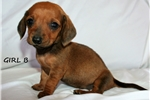 Picture of Precious Dachshund Puppy