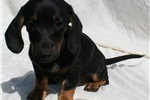 Picture of Smooth Miniature Dachshund Male. Black Tan