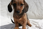Picture of Wirehaired Miniature Dachshund Female. Wild Boar