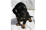 Picture of Wirehaired Miniature Dachshund Female. Black Tan