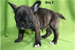 Picture of Gorgeous Little French Bulldog