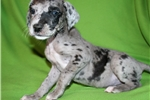 Picture of Blue Merle Great Dane, Sweet Girl