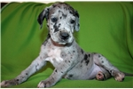 Picture of Great Dane Girl, Blue Merle