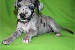 Picture of Blue Merle Female Great Dane