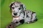 Picture of Blue Merle Great Dane Girl