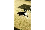 Picture of Handsome Harlequin Great Dane Male