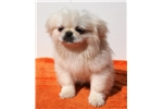 Picture of Adorable Female Pekingese Puppy!