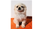 Picture of Adorable Male Pekingese Puppy!