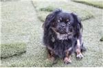 Picture of Pekingese/ShihTzu Puppy. Pekeashus!