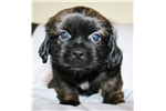Picture of Pekingese/Shih Tzu Puppy. Pekeashu!