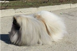 Picture of Most Adorable Pekingese Female Puppy